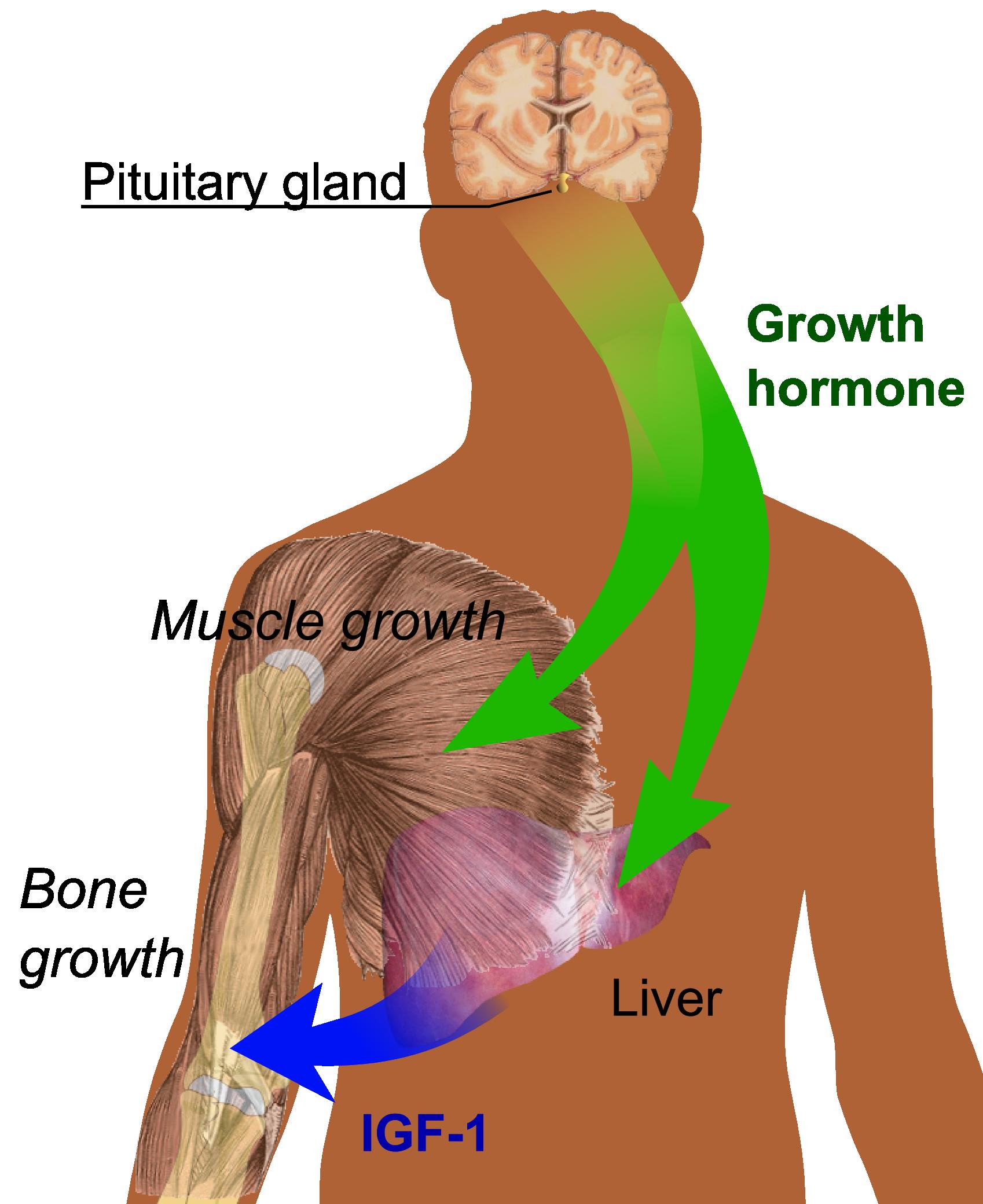 Endocrine System Organs Yoga Aid